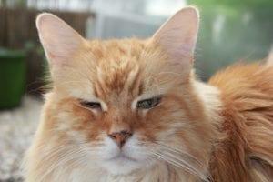 pienso para gatos con sobrepeso