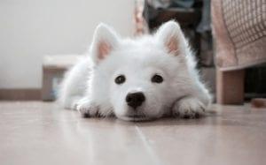 enseñar a tu cachorro hacer sus necesidades en casa pg
