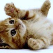 pienso-salmon-gatos